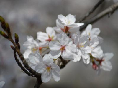 3月 京田辺市内の知る人ぞ知る、桜の名所へお花見に!